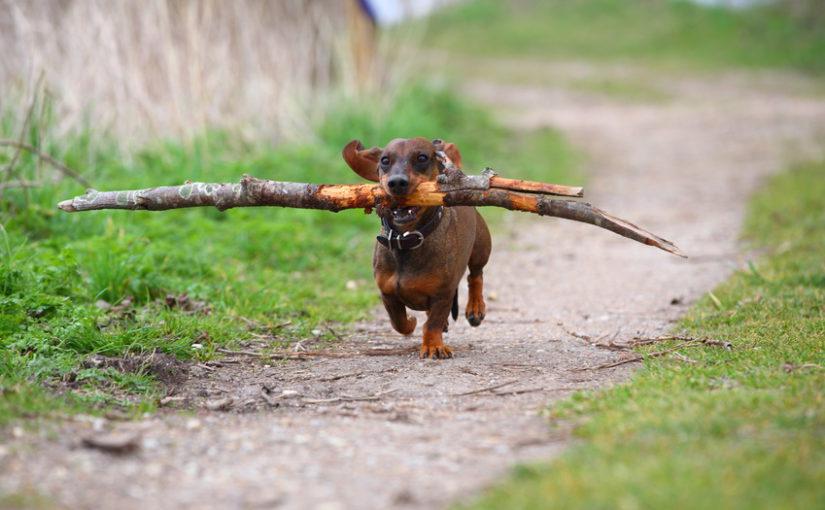 Hund mit großem Ast im Maul