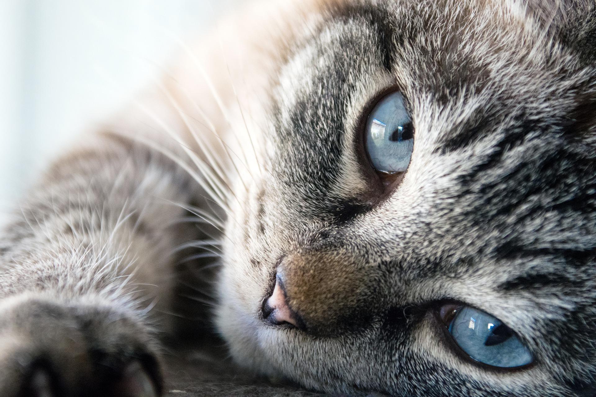 Katze liegend, blaue Augen.
